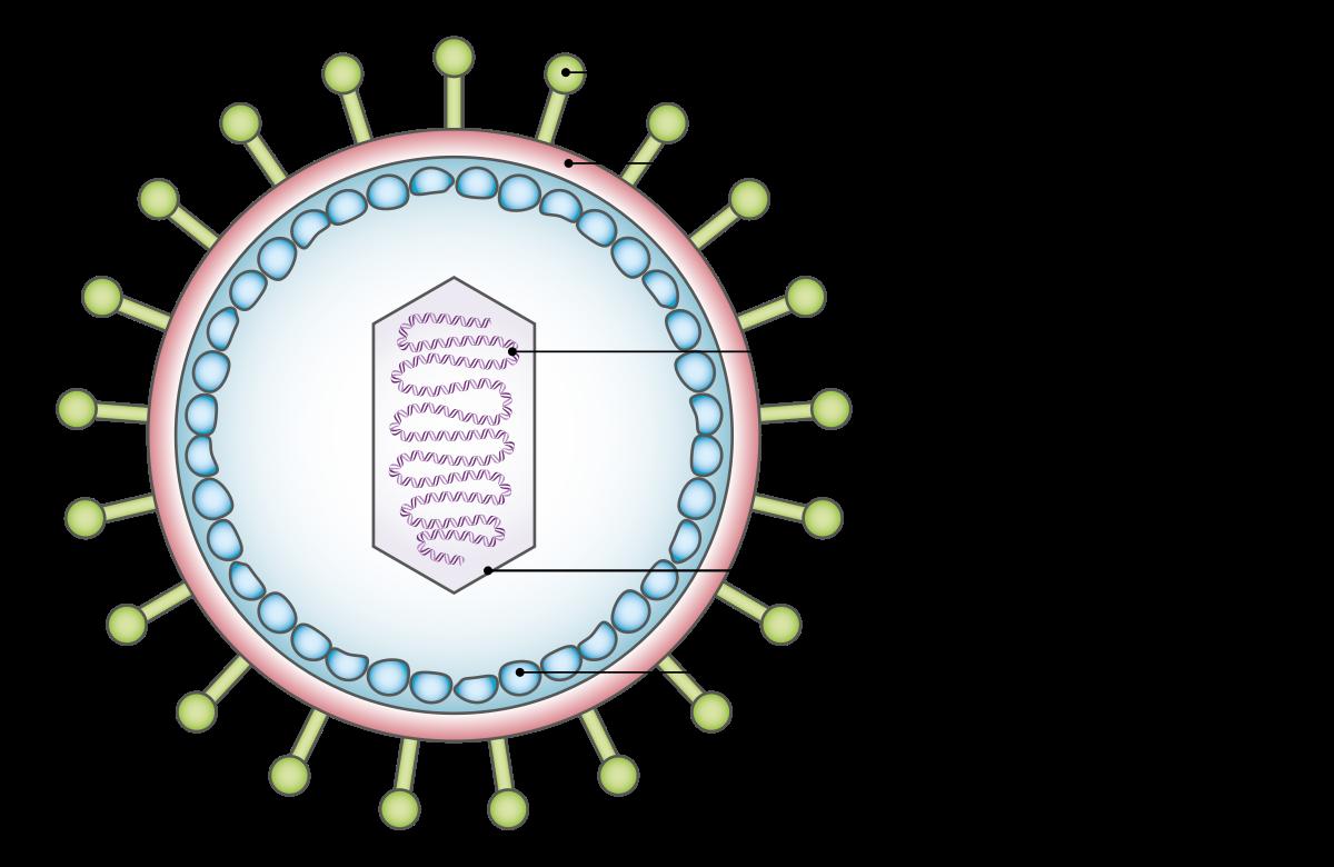 ezután a papilloma vírus daganattá válik