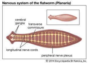 Fonálférgek – Wikipédia Phylum platyhelminthes képek névvel