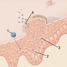 Genitális szemölcsök vagy genitális szemölcsök, A HPV szemölcs típusai