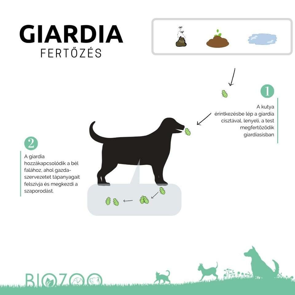 Giardia fertőzöttség kutyáknál, macskáknál