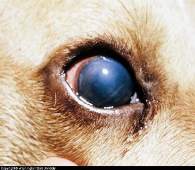 kutya szemhéj papilloma parazita megelőző kezelés