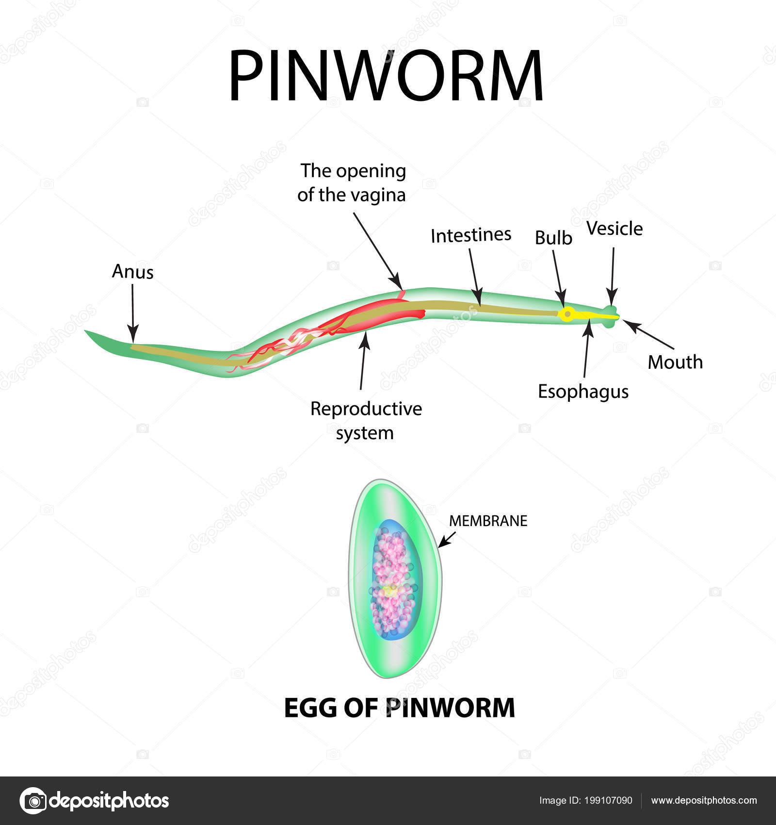 pinworm szakasz