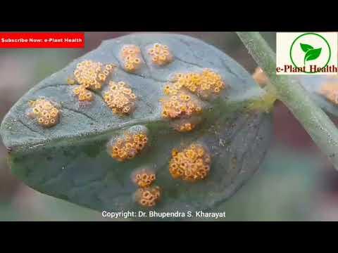 Helminthosporium sativum penész, Eseti felhasználási engedélyek 2010