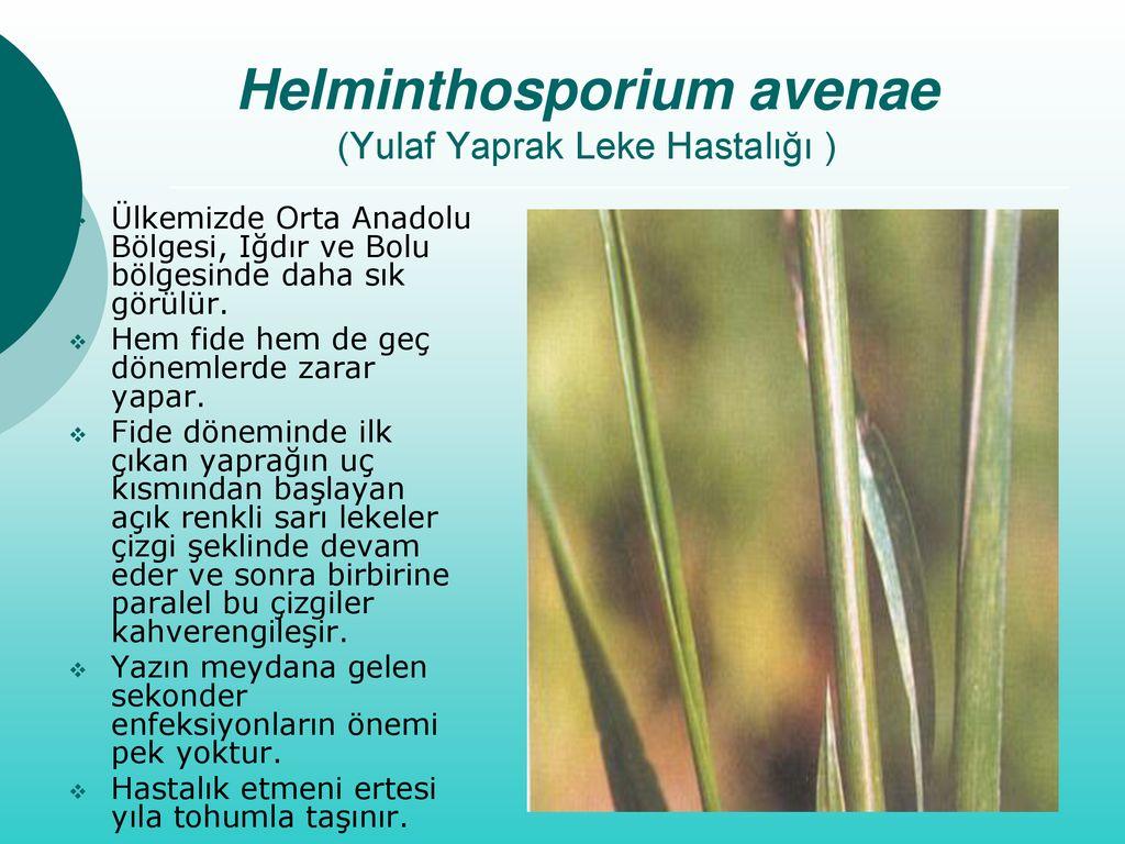 helminthosporium gramineum árpa