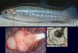 parazita ryby