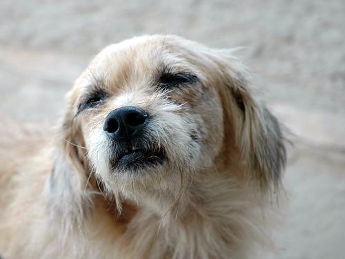 Papillóma a kutya szemén, mint kezelni | PapiSTOP