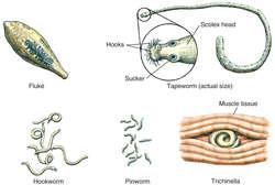 Dirofilariasis helmintus