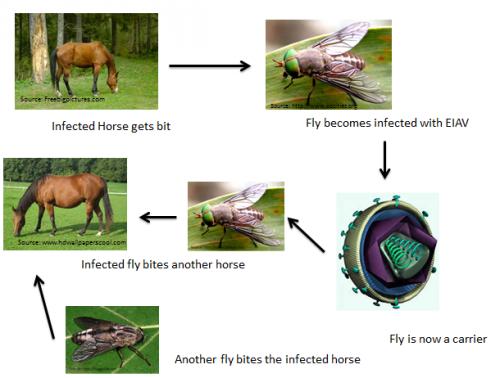 ló fertőző vérszegénysége paraziták a szájüregben hogyan kell kezelni