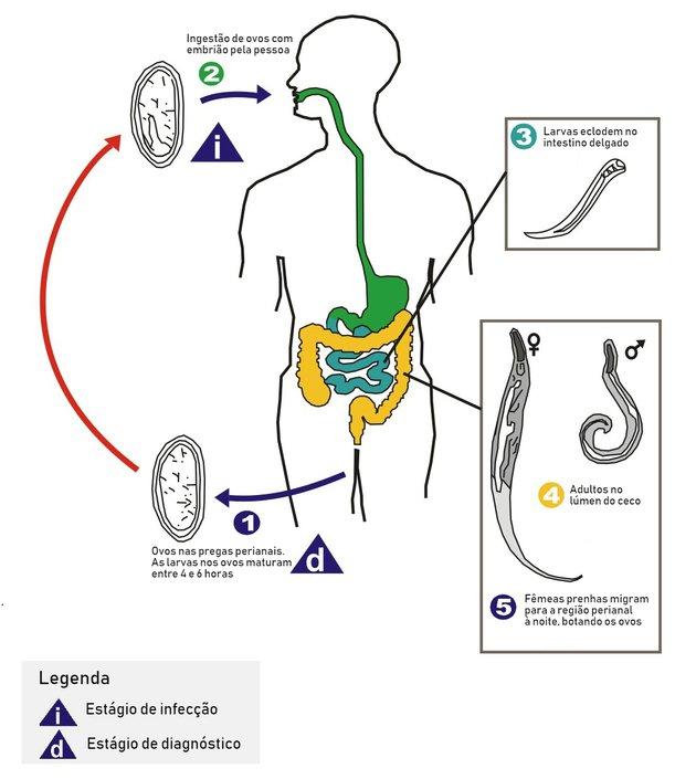 A pinworms leghatékonyabb gyógyszerének kiválasztása felnőtteknél - Gyomorhurut