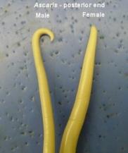 Filo dos nemathelminthes, Filo nemathelminthes. Fedorov paraziták kezelése