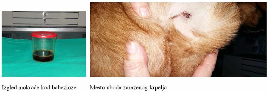 Giardia kod pasa simptomi
