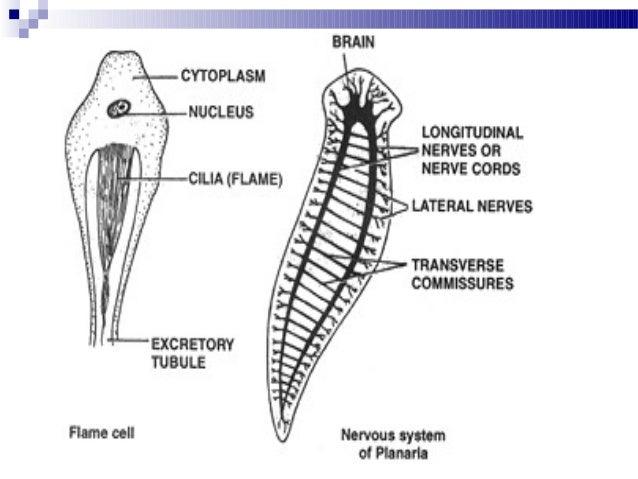 Platyhelminthes osztályú turbellária