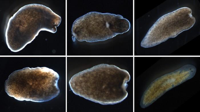 Flukes paraziták képei A flukes és a galandférgek képviselői