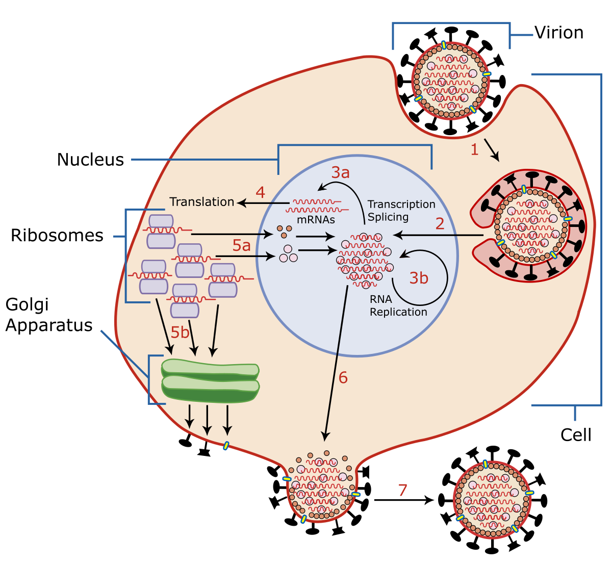 hpv látens vírus kroppen