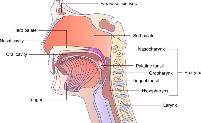 oropharyngealis humán papillomavírus