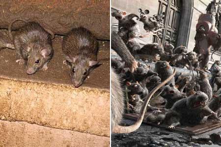 Nyakunkon a patkányinvázió: méreg helyett ezt a védekezési módszert ajánlja a szakértő