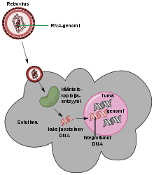 potenciálisan onkogén humán papillomavírusok