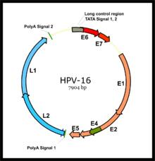 papillomavírus j j paraziták az emberi széklet képein