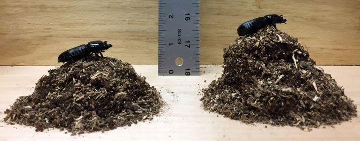 A pinworm férgek kezelése felnőtteknél